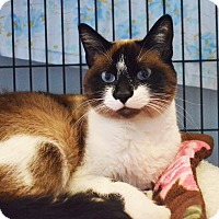 Snowshoe Cat for adoption in Lincoln, Nebraska - Bandit