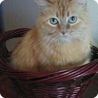 Domestic Longhair Cat for adoption in Scottsdale, Arizona - Emma