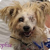 Adopt A Pet :: Sophie - Bradenton, FL