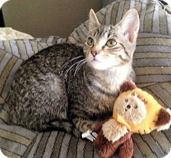 Domestic Shorthair Kitten for adoption in Atlanta, Georgia - Chippie