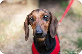 Dachshund Dog for adoption in Washington, D.C. - Rosie (Has Application)