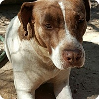 Pointer/American Staffordshire Terrier Mix Dog for adoption in Allentown, New Jersey - Sis