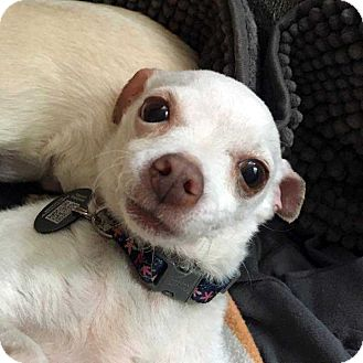 Chihuahua Mix Dog for adoption in New York, New York - Sugar!