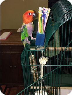 Conure for adoption in Los Angeles, California - Timmie