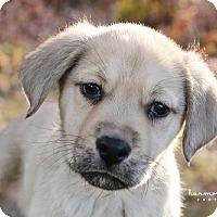 Adopt A Pet :: Acorn - Nashville, TN