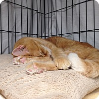 Adopt A Pet :: Tigger - Warwick, RI
