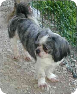 Shih Tzu Dog for adoption in Homer Glen, Illinois - Joshua