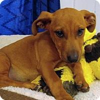 Adopt A Pet :: Aubie - Washington, DC