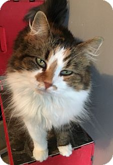 Calico Cat for adoption in Sistersville, West Virginia - Skylar