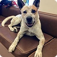 Adopt A Pet :: Firulais - Las Vegas, NV