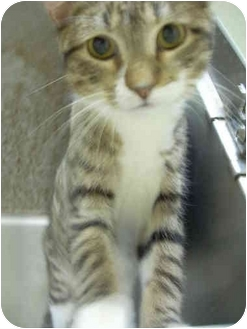 Domestic Shorthair Cat for adoption in Bartlett, Tennessee - Calvin