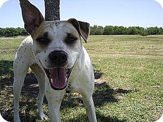 Australian Shepherd/Bull Terrier Mix Puppy for adoption in Houston, Texas - Dulce