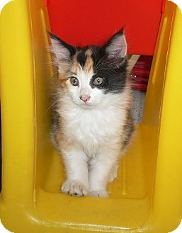 Calico Kitten for adoption in lake elsinore, California - Twitter n Twinke