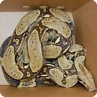 Snake for adoption in Brooklyn, New York - Columbian Boa-Adult