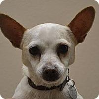 Adopt A Pet :: Kush - Gilbert, AZ