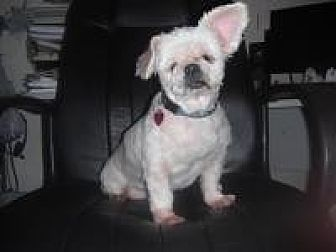 Maltese/Shih Tzu Mix Dog for adoption in Gainesville, Florida - Blanche (FL)