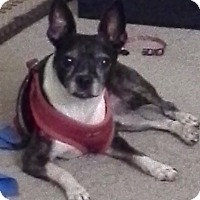 Boston Terrier/Rat Terrier Mix Dog for adoption in Encinitas, California - Bruiser (Courtesy Listing)