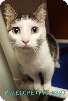 American Shorthair Cat for adoption in Tiffin, Ohio - PENELOPE