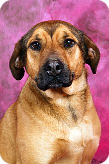 Shepherd (Unknown Type)/Labrador Retriever Mix Dog for adoption in St. Louis, Missouri - Jewels Labshepherd