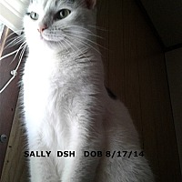 Domestic Shorthair Cat for adoption in Brandon, Florida - Sally
