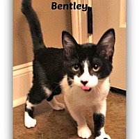 Adopt A Pet :: Bentley - Baton Rouge, LA