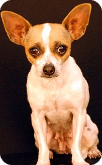 Chihuahua Dog for adoption in Newland, North Carolina - Chrissy