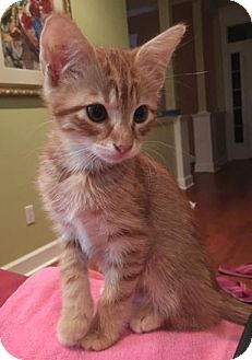 Domestic Mediumhair Kitten for adoption in Tallahassee, Florida - Opie