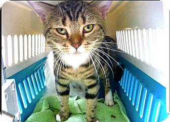 American Shorthair Cat for adoption in Sherman Oaks, California - Zeus
