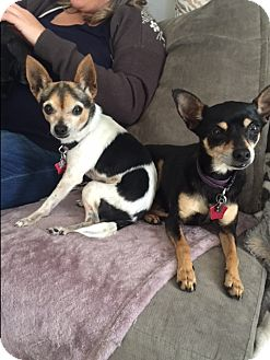 Chihuahua Mix Dog for adoption in St Helena, California - Maggie