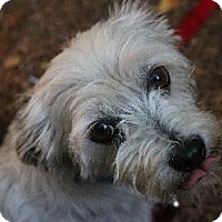 Jack Russell Terrier/Shih Tzu Mix Dog for adoption in Pt. Richmond, California - DEXTER
