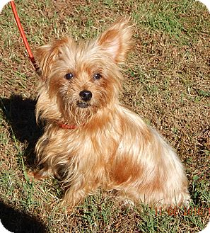 Yorkie, Yorkshire Terrier/Terrier (Unknown Type, Small) Mix Dog for adoption in West Sand Lake, New York - Goldie (10 lb) Sweetheart!