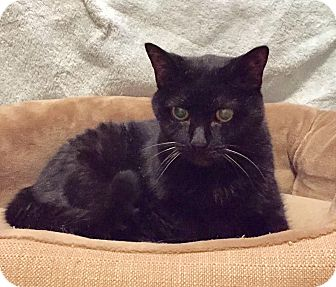 Domestic Shorthair Cat for adoption in Fairfax, Virginia - Mew