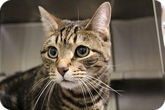Domestic Shorthair Cat for adoption in Sarasota, Florida - Tito