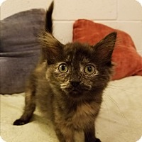 Adopt A Pet :: Torti girls - Jeannette, PA