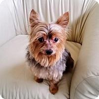 Adopt A Pet :: Bella - Whiting, NJ