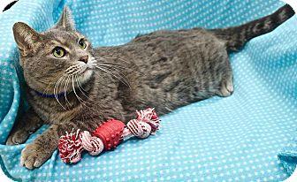 Domestic Shorthair Cat for adoption in Basehor, Kansas - Wilson