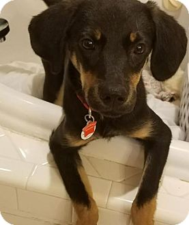 Hound (Unknown Type) Mix Puppy for adoption in Holly Springs, North Carolina - Mayflower