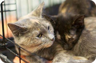 Domestic Shorthair Kitten for adoption in New York, New York - Vivian