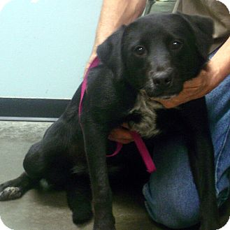 Labrador Retriever/Australian Cattle Dog Mix Dog for adoption in baltimore, Maryland - Folly