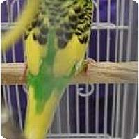 Adopt A Pet :: Sunny - Shawnee Mission, KS