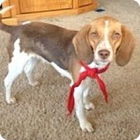 Adopt A Pet :: Emma 14 lbs - Marlton, NJ