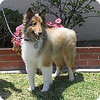 Adopt A Pet :: Dakota - La Habra, CA