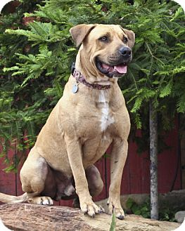 Labrador Retriever/American Pit Bull Terrier Mix Dog for adoption in Lompoc, California - King Louie