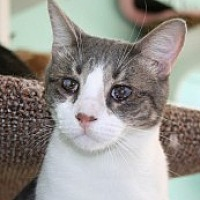 Domestic Shorthair Cat for adoption in Marietta, Georgia - Rick