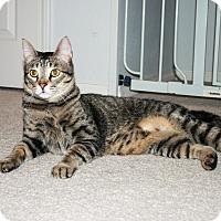 Adopt A Pet :: Stevie - Bentonville, AR