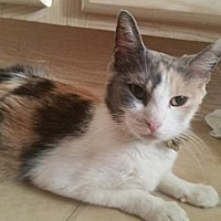Calico Cat for adoption in Surprise, Arizona - Patches