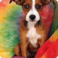 Adopt A Pet :: Lacey Minpin Dash mix - St. Louis, MO