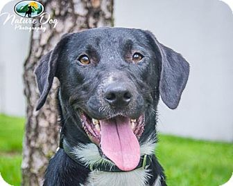 Labrador Retriever/Border Collie Mix Dog for adoption in Houston, Texas - Grace 2