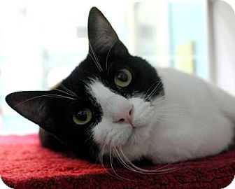 Domestic Shorthair Cat for adoption in New Orleans, Louisiana - Chloe