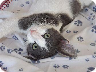 Domestic Shorthair Kitten for adoption in Mesa, Arizona - Felix